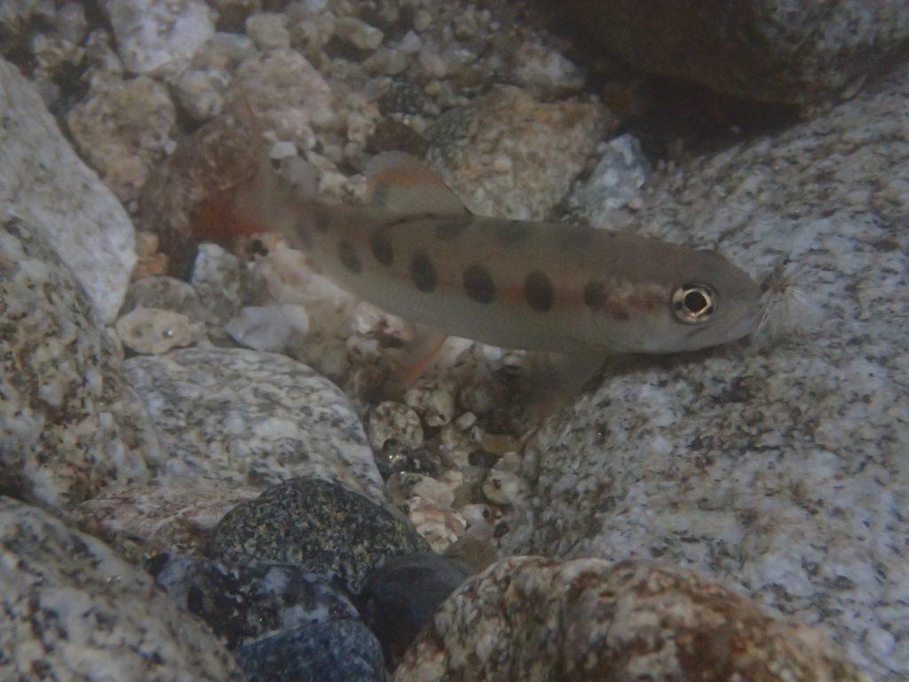 福岡佐賀県境嘉瀬川上流毛鉤で釣ったヤマメ