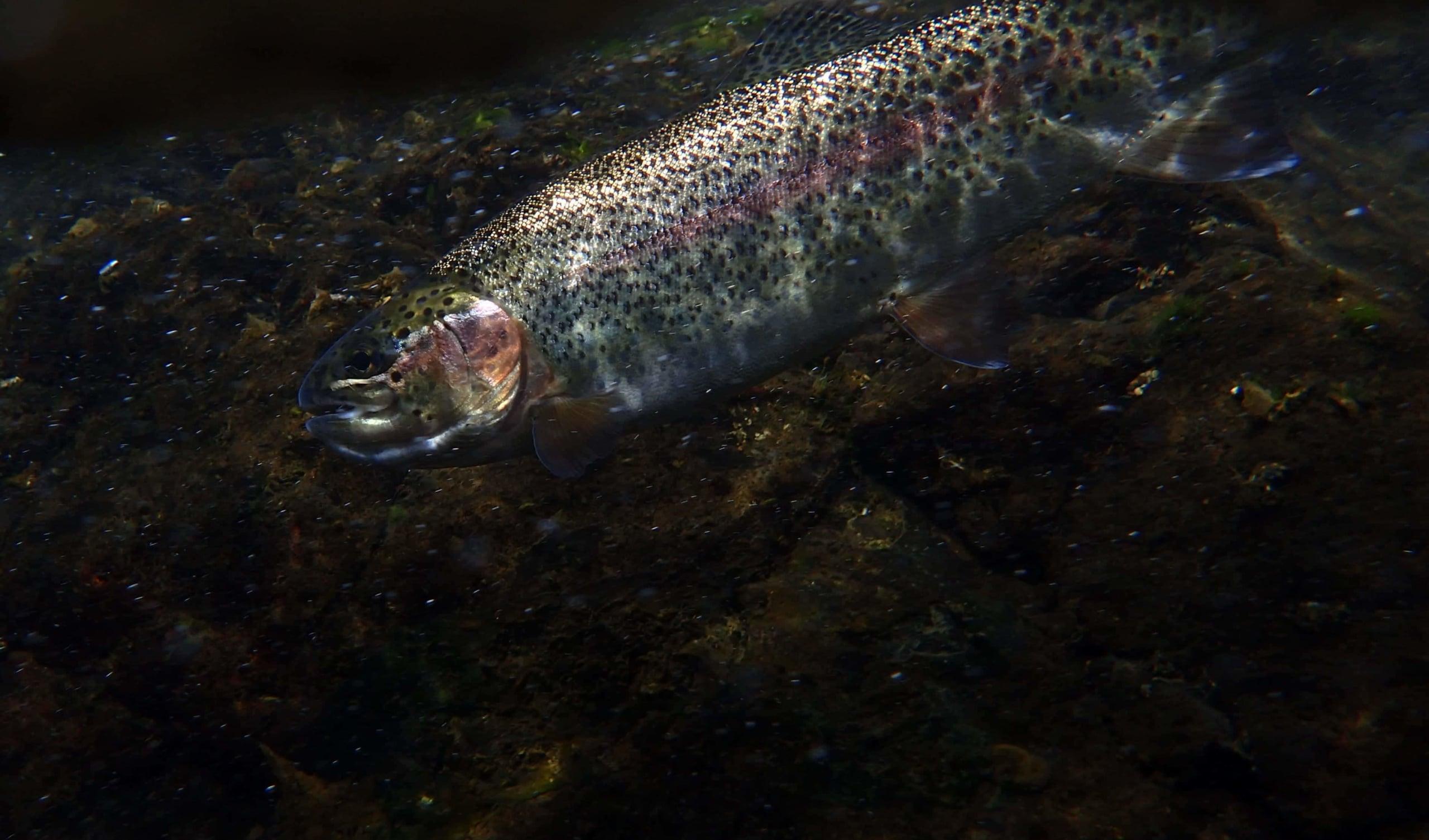 五ヶ瀬川ニジマス釣り