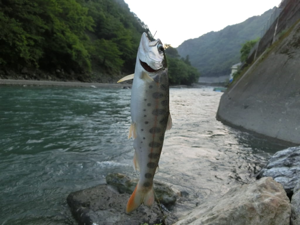 五木川梶原川ヤマメ渓流釣り