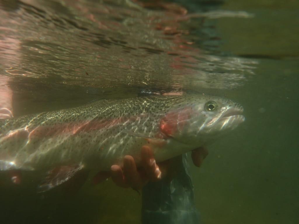 阿寒川とニジマス釣り