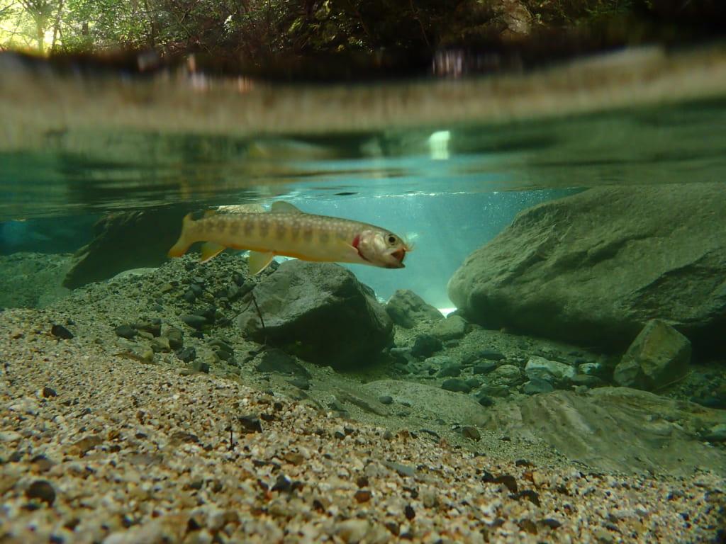 安曇川イワナアマゴ釣り
