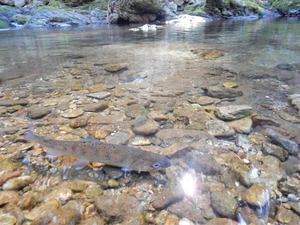 黒滝村脇川アマゴ釣り
