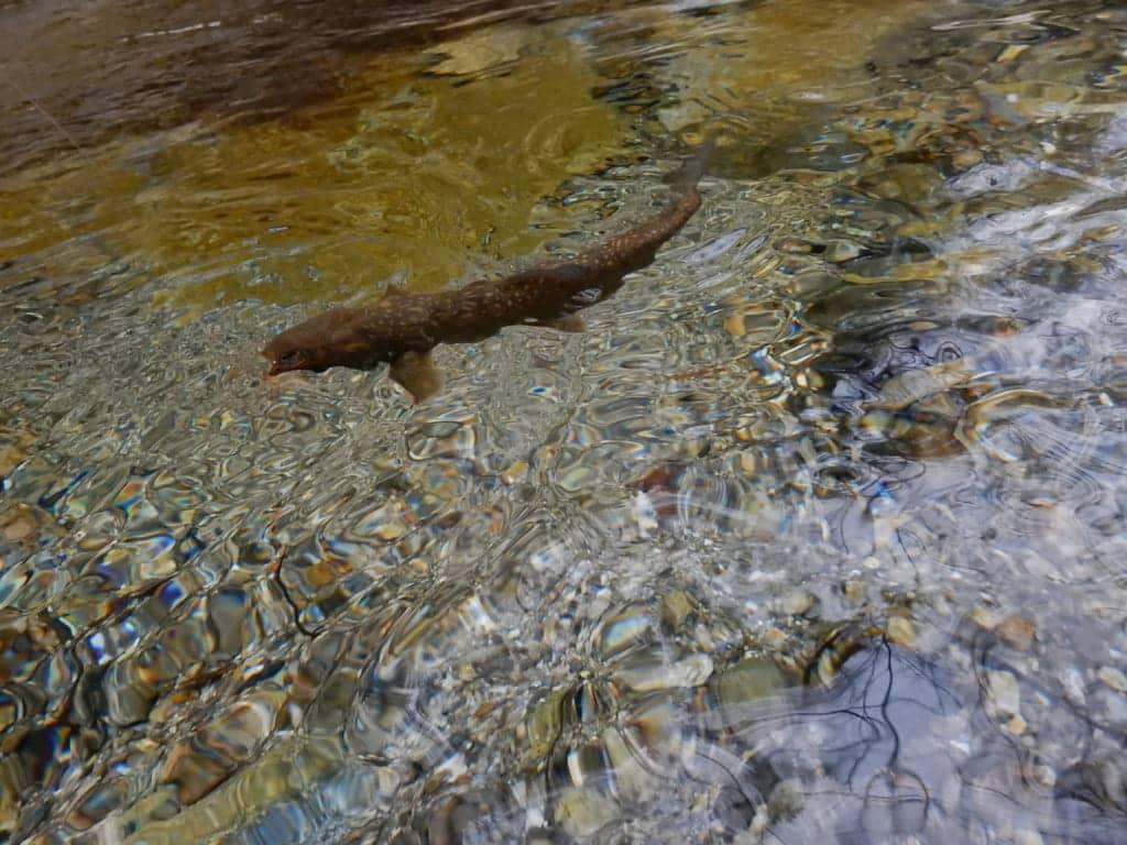 奈良吉野川アマゴイワナ渓流釣り