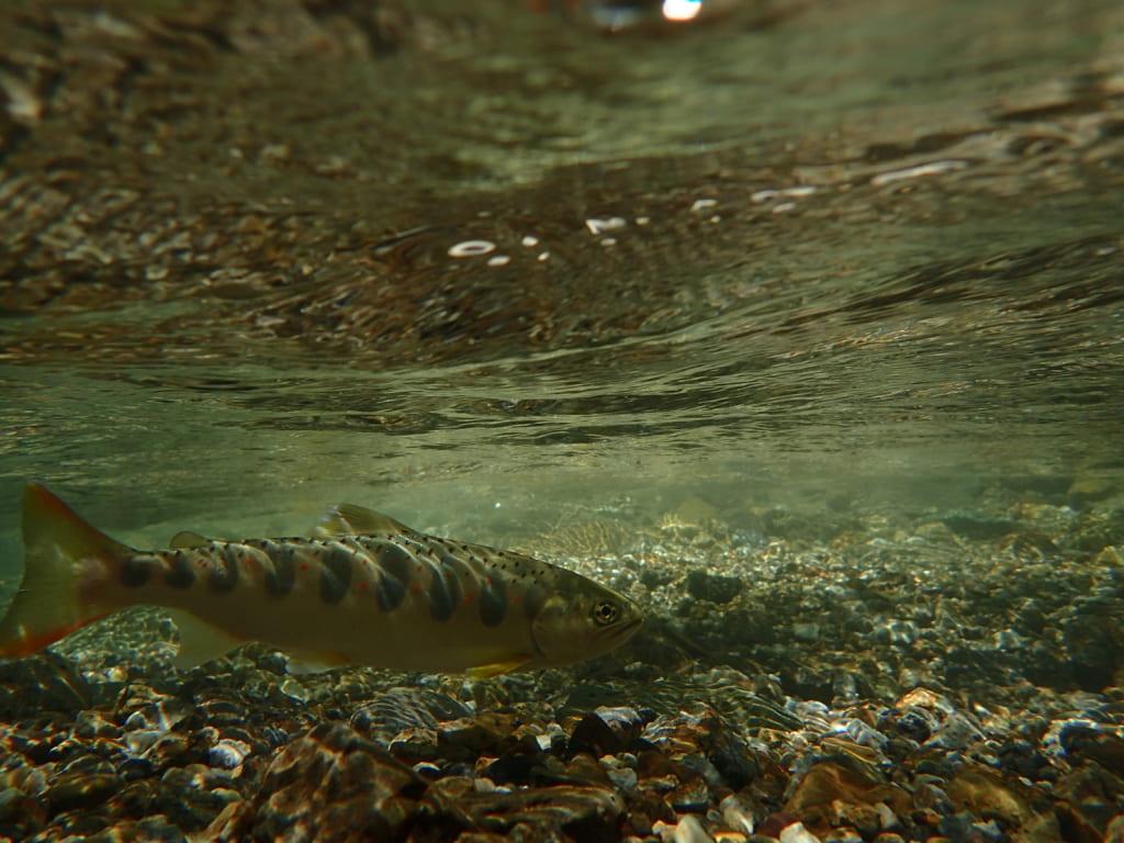 湖北高時川アマゴヤマメ渓流釣り