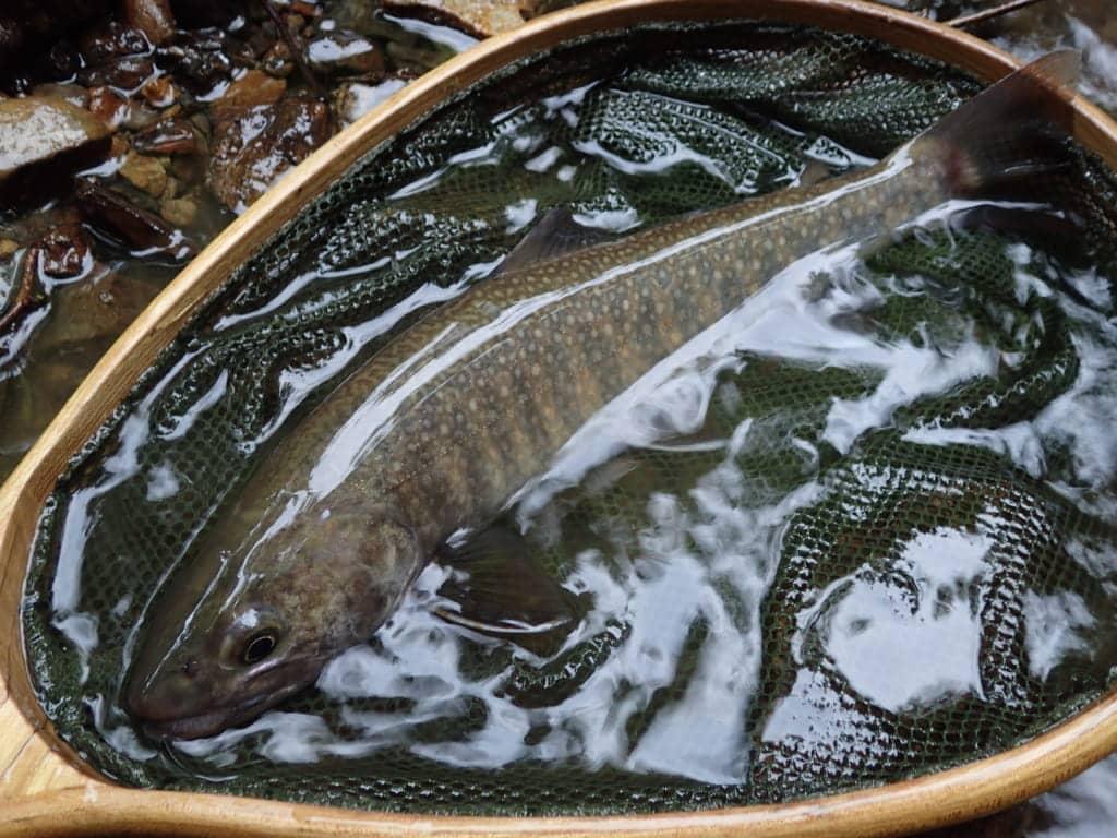 福井県日野川イワナ渓流釣り