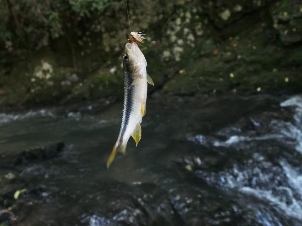 羽束川ヤマメアマゴ渓流釣り