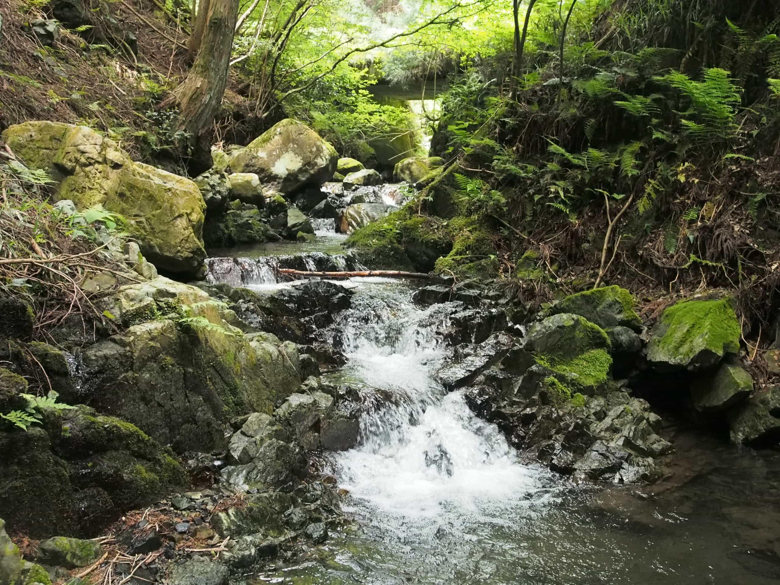 関西の天然ヤマメ(アマゴ)渓流釣り