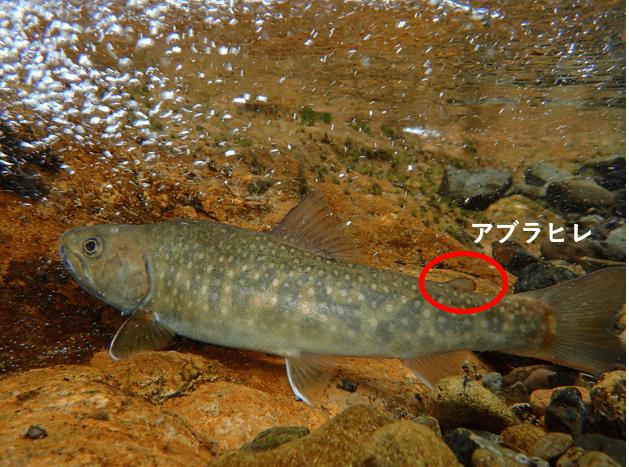 イワナとヤマメの違いは イワナとヤマメの共通点と違いについて解説 釣れない男の渓流釣りポイント紹介