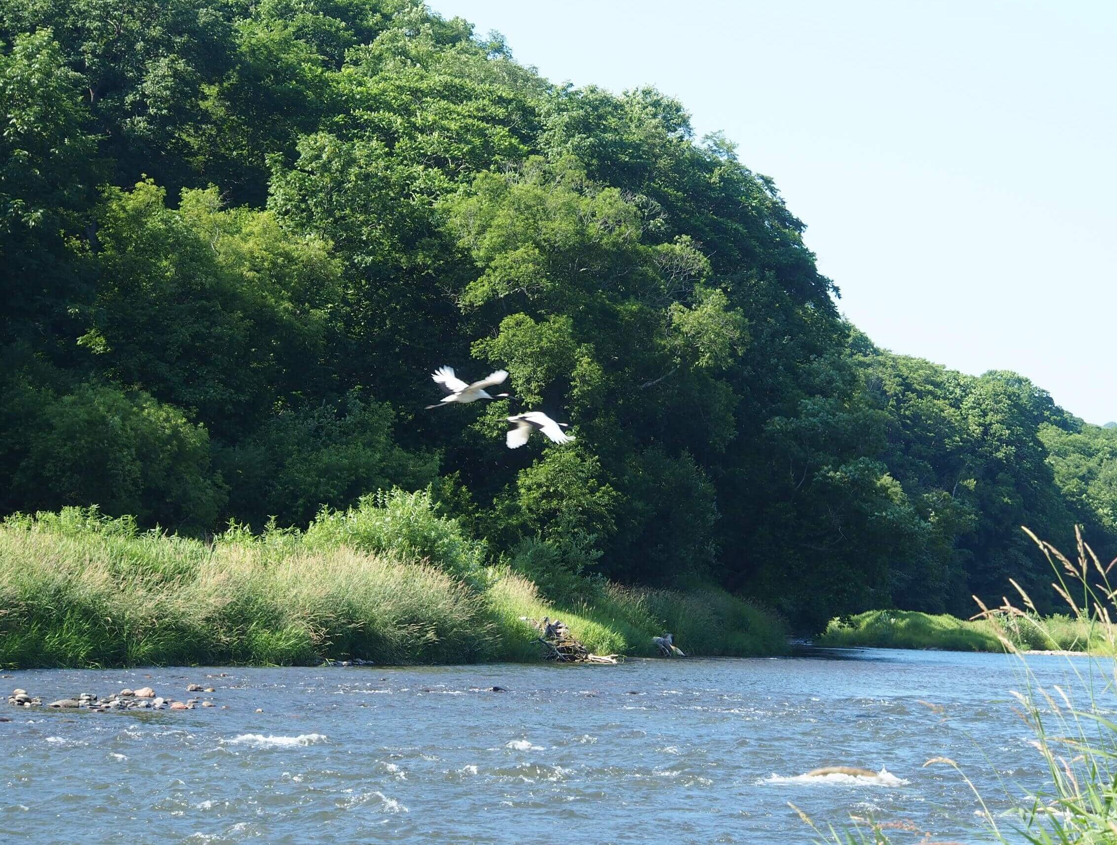 利別川の鶴