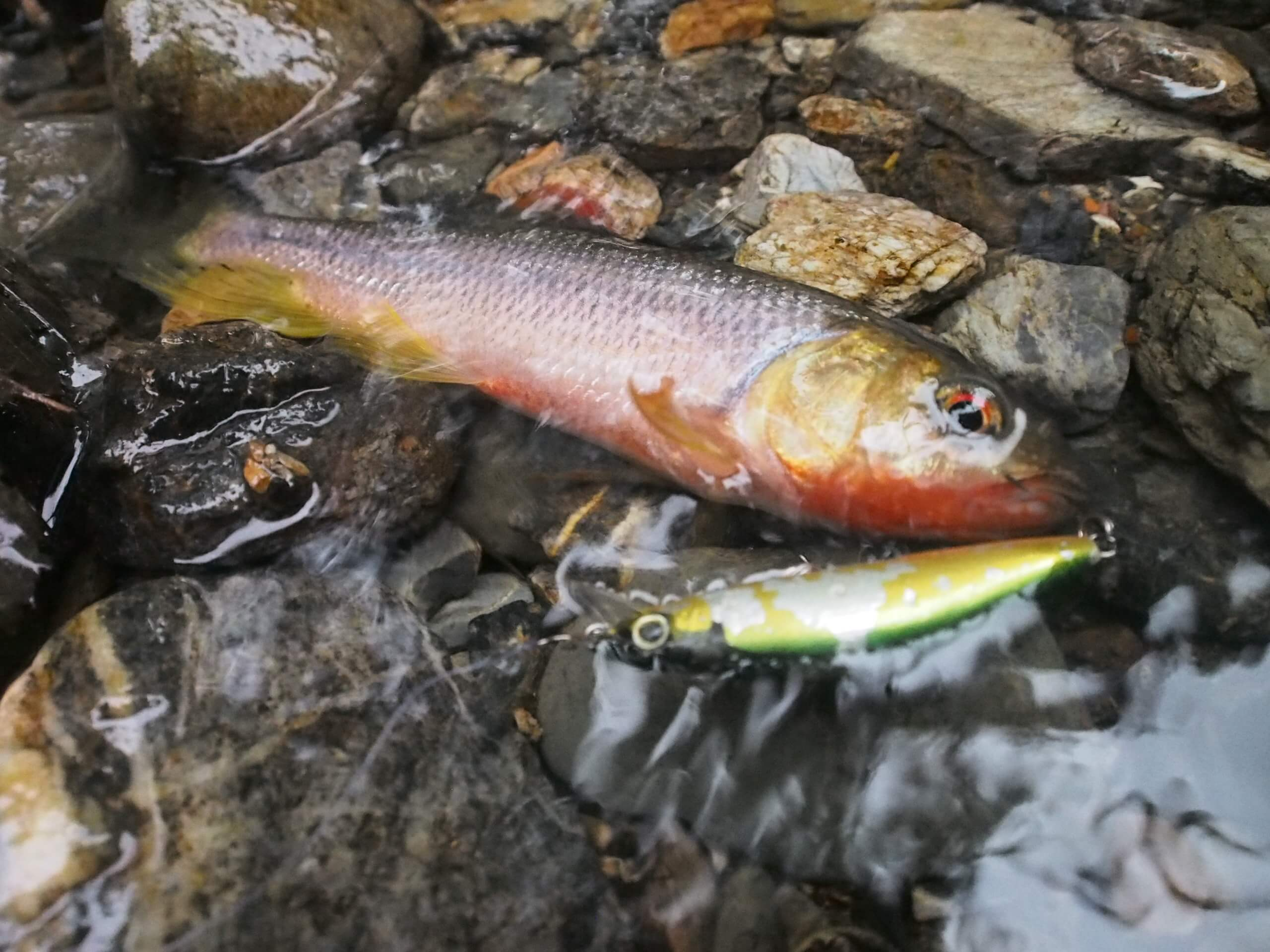 京都美山八丁川渓流釣り