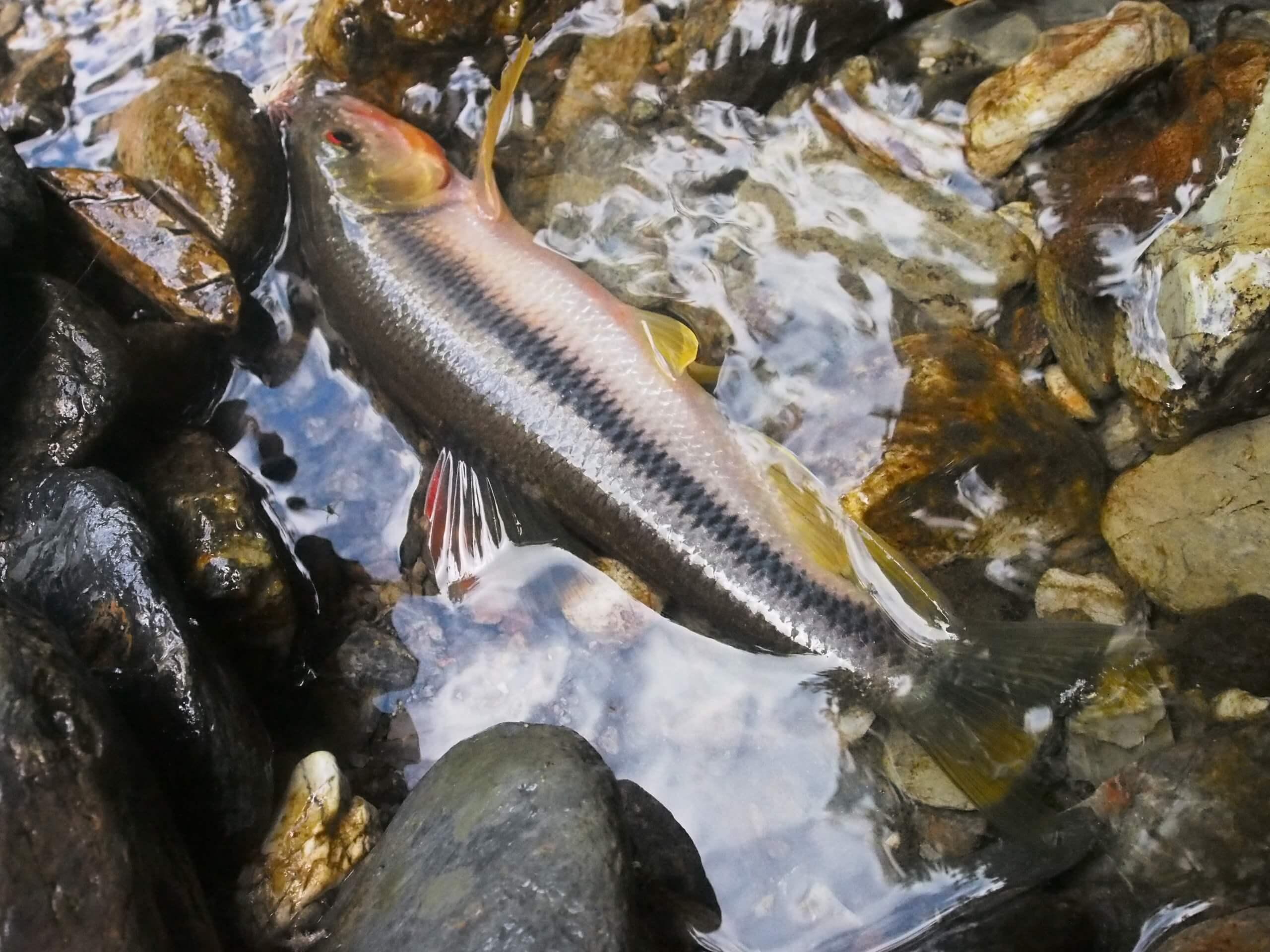 美山由良川天然ヤマメ渓流釣り