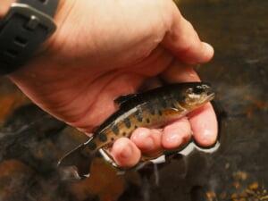 斜里川上流ヤマメオショロコマ釣り