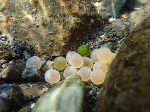 姉川ビワマスの卵
