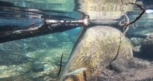 兵庫県天然アマゴ渓流釣り