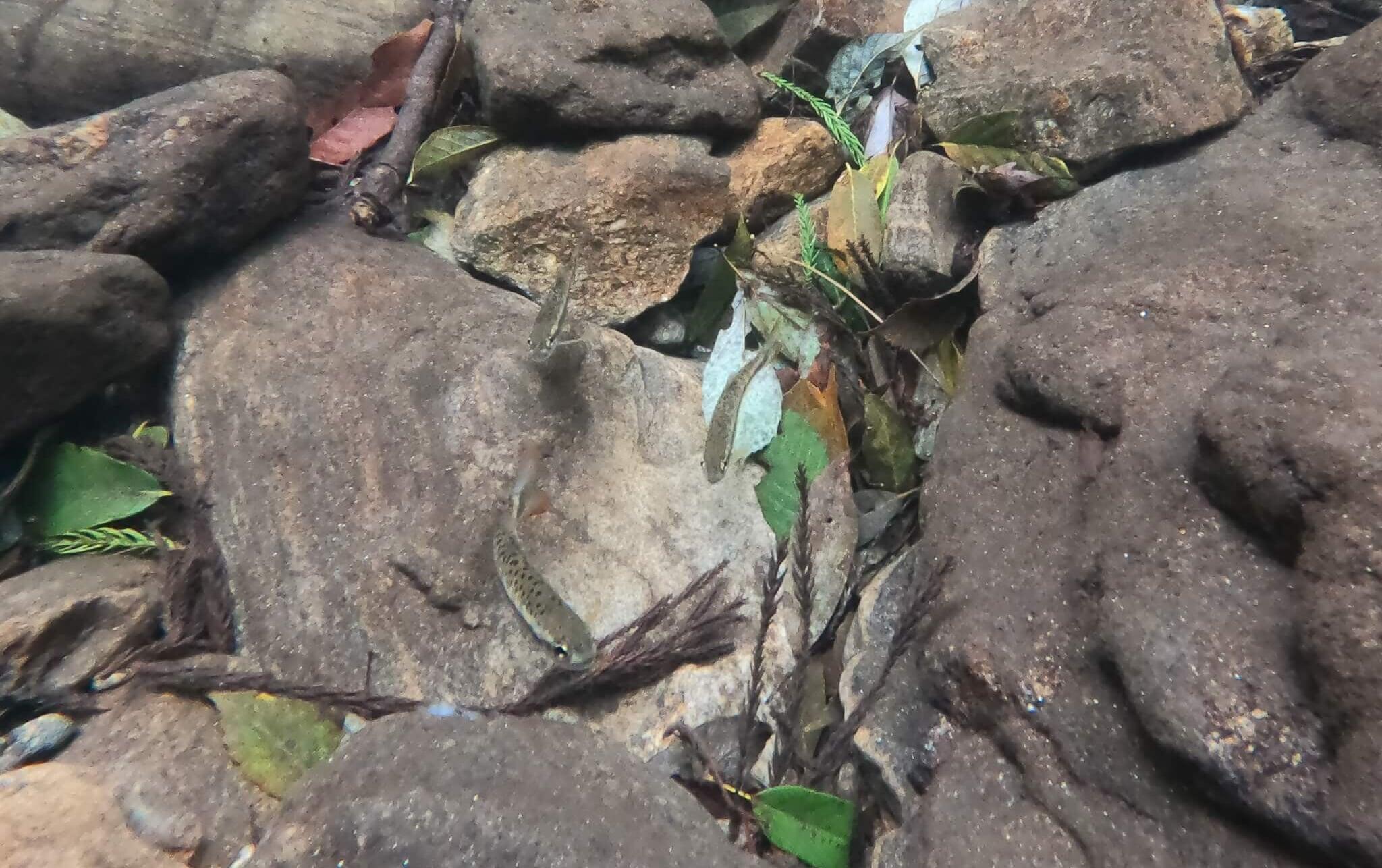 三重渓流ヤマメアマゴ釣り