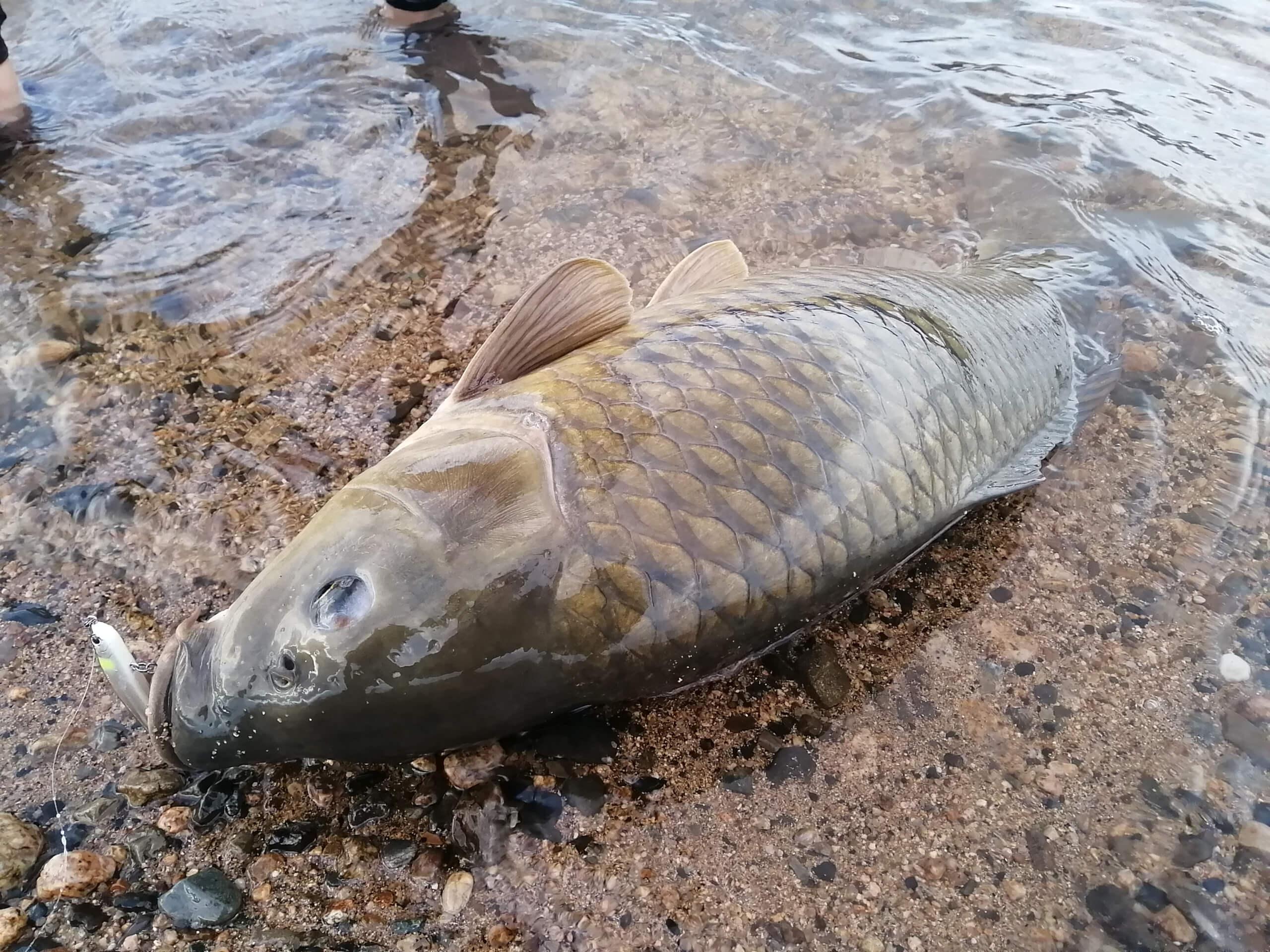 琵琶湖湖北で鯉釣り