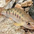 【福岡市内でヤマメ渓流釣り】野河内渓谷に野生のヤマメがいた