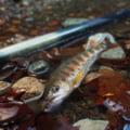栃代川アマゴ渓流釣り