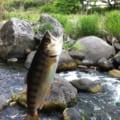 【別府大分から40分】大分川水系阿蘇野川でアマゴ(ヤマメ)釣り